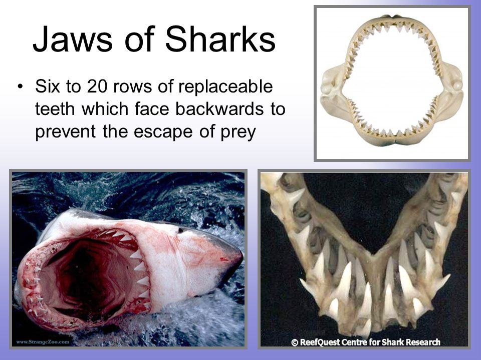 Jaws of Sharks Six to 20 rows of replaceable teeth which face backwards to prevent the escape of prey