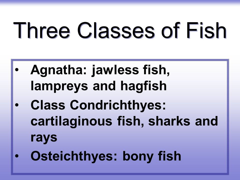 Three Classes of Fish Agnatha: jawless fish, lampreys and hagfish Class Condrichthyes: cartilaginous fish, sharks and rays Osteichthyes: bony fish