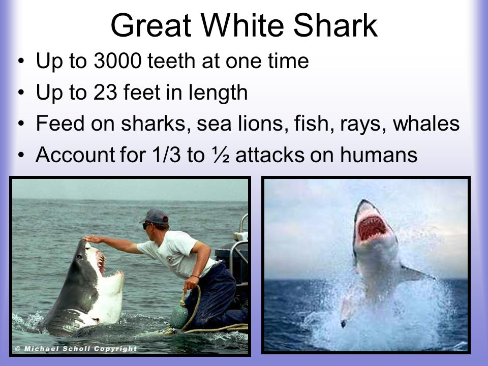 Great White Shark Up to 3000 teeth at one time Up to 23 feet in length Feed on sharks, sea lions, fish, rays, whales Account for 1/3 to ½ attacks on h