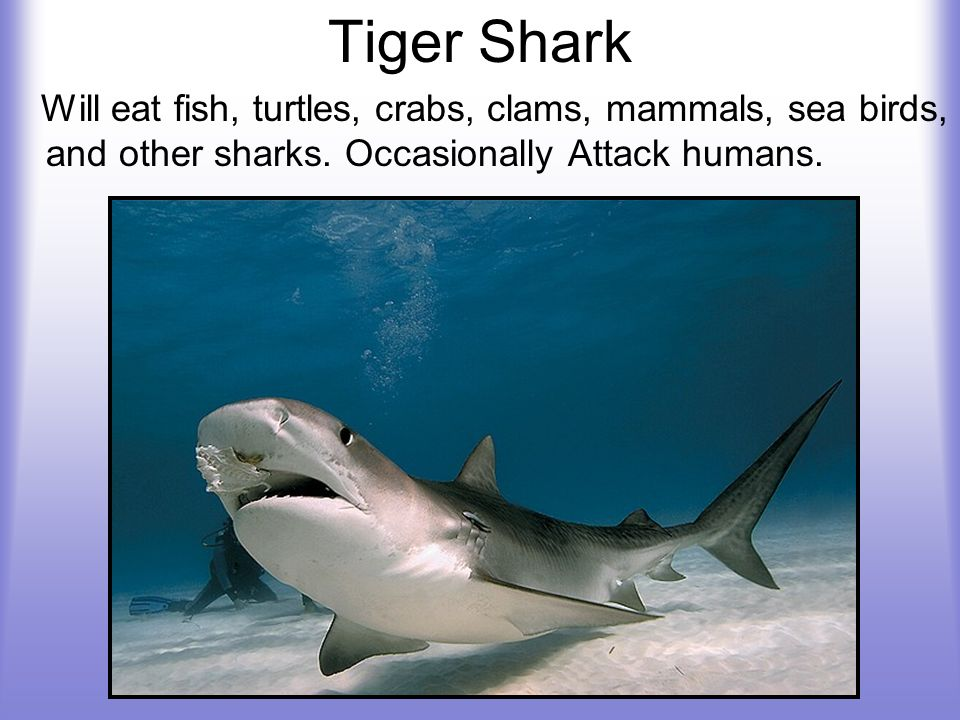 Tiger Shark Will eat fish, turtles, crabs, clams, mammals, sea birds, and other sharks. Occasionally Attack humans.
