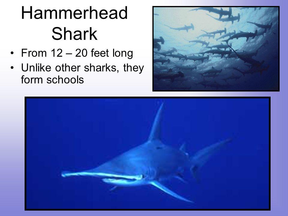 Hammerhead Shark From 12 – 20 feet long Unlike other sharks, they form schools