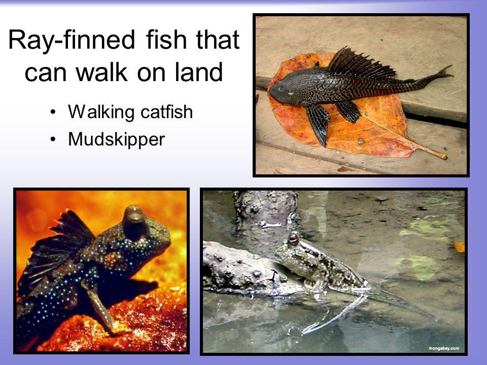 Ray-finned fish that can walk on land Walking catfish Mudskipper