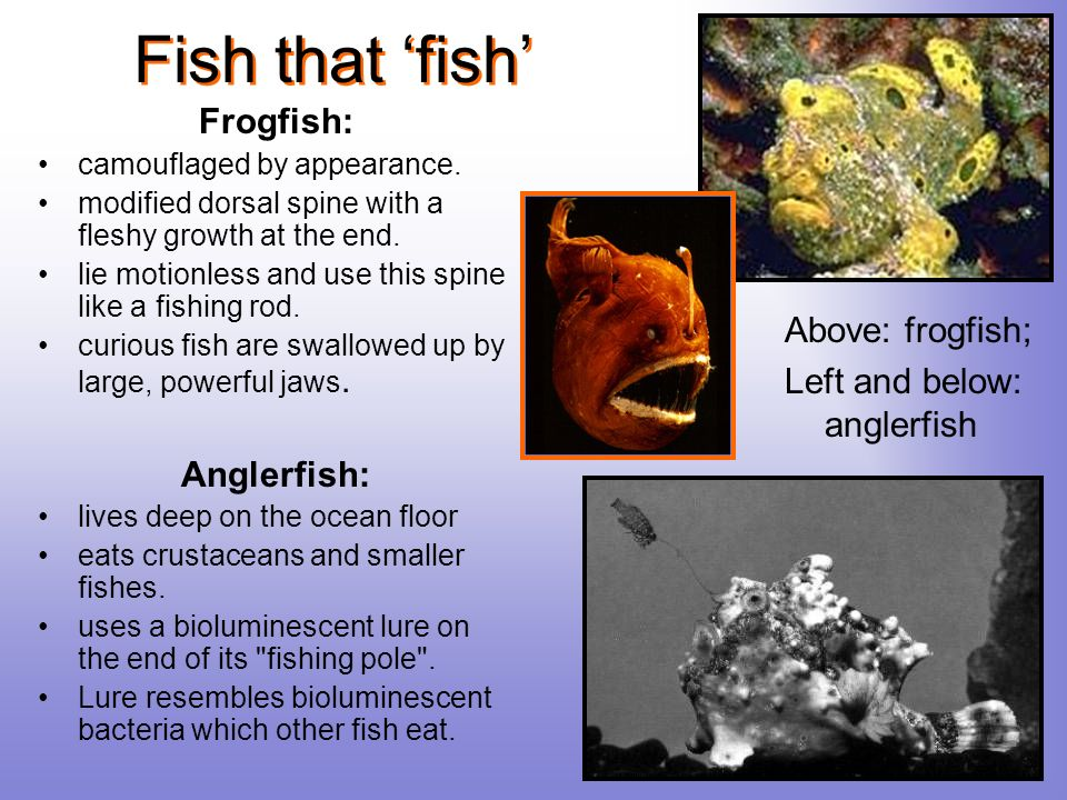 Fish that fish Frogfish: camouflaged by appearance. modified dorsal spine with a fleshy growth at the end. lie motionless and use this spine like a fi