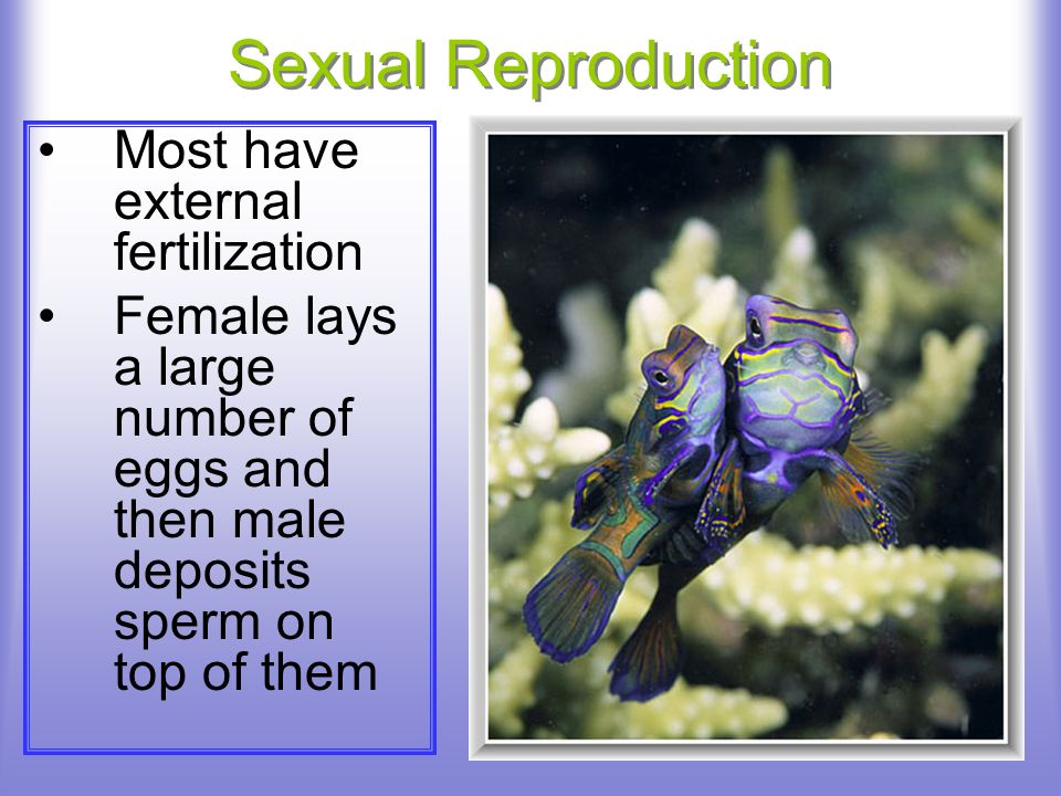 Sexual Reproduction Most have external fertilization Female lays a large number of eggs and then male deposits sperm on top of them