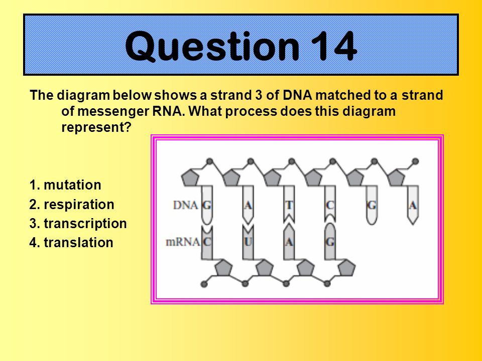 The diagram below shows a strand 3 of DNA matched to a strand of messenger RNA. What process does this diagram represent? 1. mutation 2. respiration 3