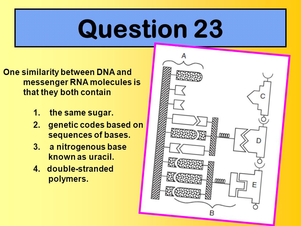 One similarity between DNA and messenger RNA molecules is that they both contain 1. the same sugar. 2.genetic codes based on sequences of bases. 3. a