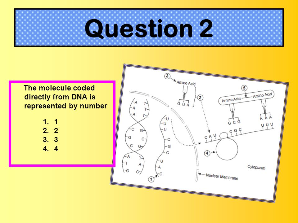 Question 2 The molecule coded directly from DNA is represented by number 1.1 2.2 3.3 4.4