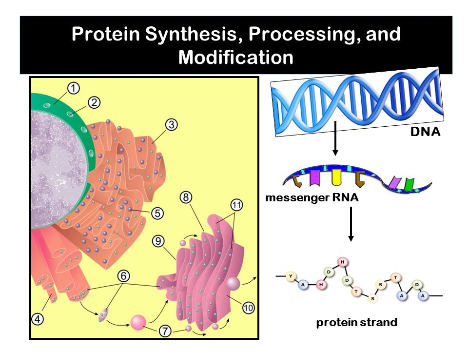 Protein Synthesis, Processing, and Modification DNA messenger RNA protein strand