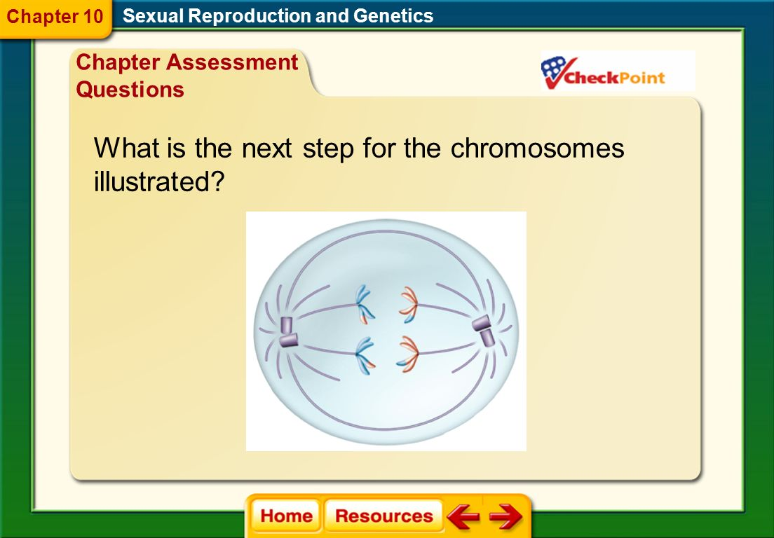 A. prophase I B. interphase C. anaphase I D. anaphase II Which stage of meiosis is illustrated? Sexual Reproduction and Genetics Chapter 10 Chapter As