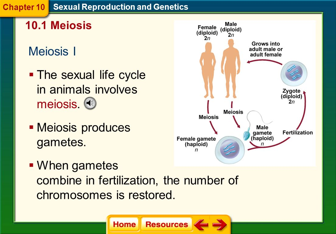 Haploid and Diploid Cells Human gametes contain 23 chromosomes. Sexual Reproduction and Genetics A cell with n chromosomes is called a haploid cell. A