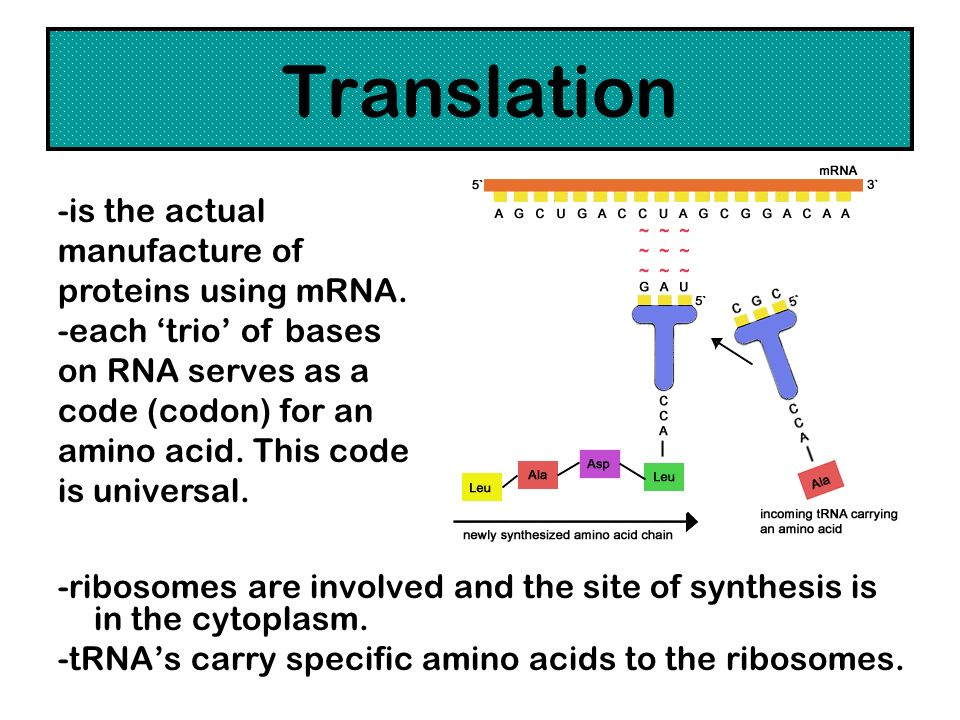 Translation -ribosomes are involved and the site of synthesis is in the cytoplasm. -tRNAs carry specific amino acids to the ribosomes. -is the actual