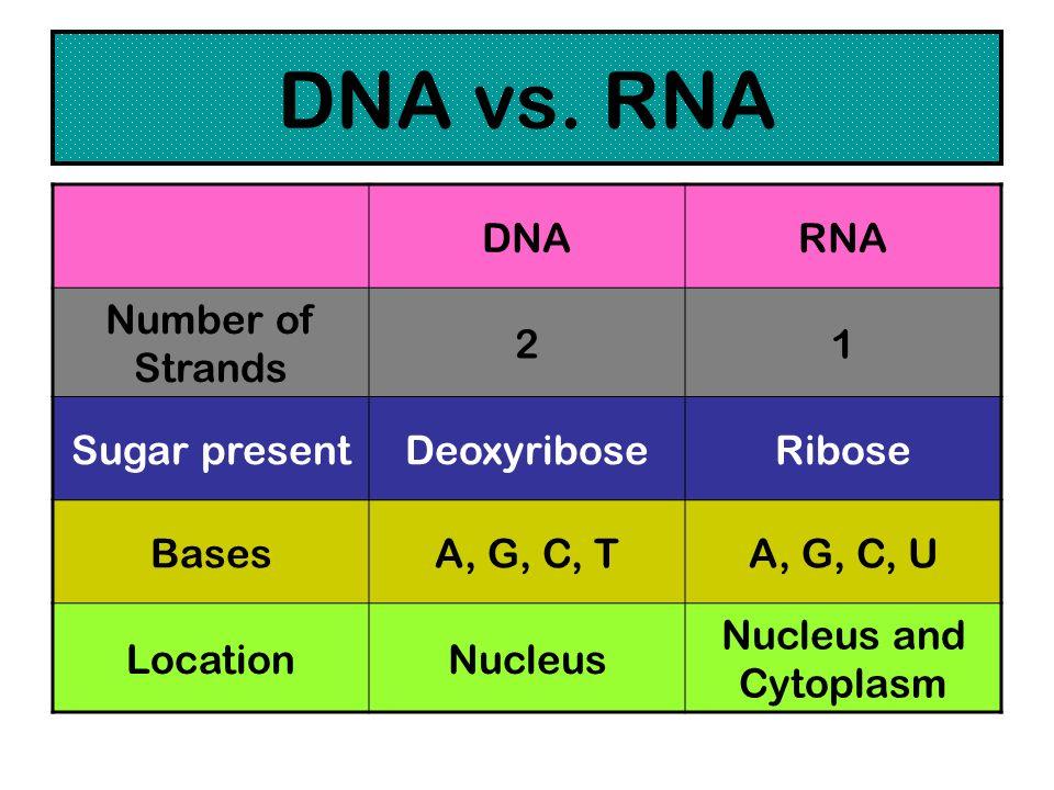 DNA vs. RNA DNARNA Number of Strands 21 Sugar presentDeoxyriboseRibose BasesA, G, C, TA, G, C, U LocationNucleus Nucleus and Cytoplasm