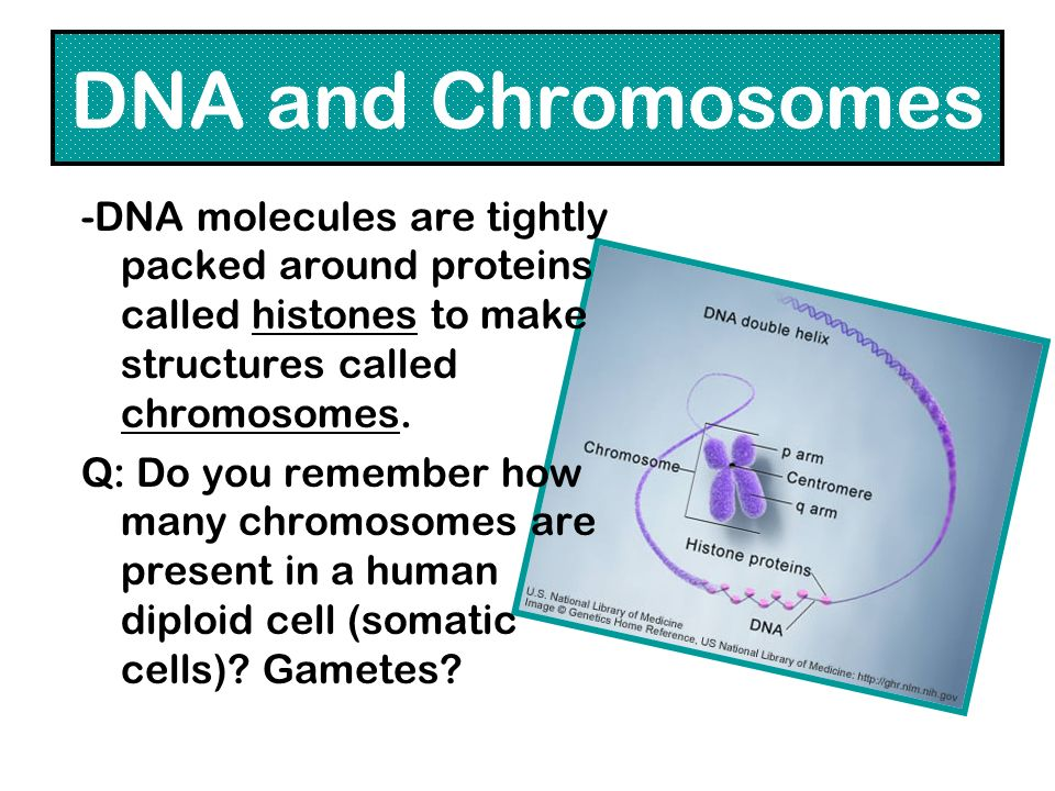 DNA and Chromosomes -DNA molecules are tightly packed around proteins called histones to make structures called chromosomes. Q: Do you remember how ma