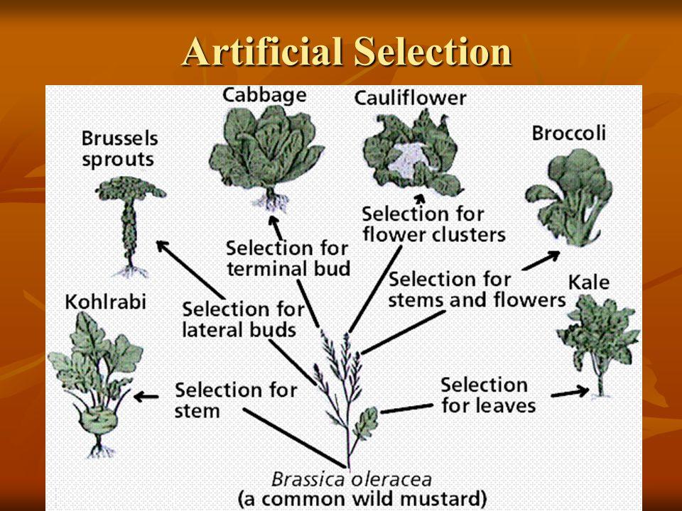 18 Artificial Selection