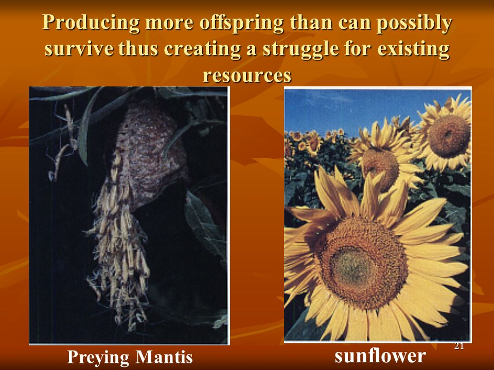 21 Preying Mantis sunflower Producing more offspring than can possibly survive thus creating a struggle for existing resources