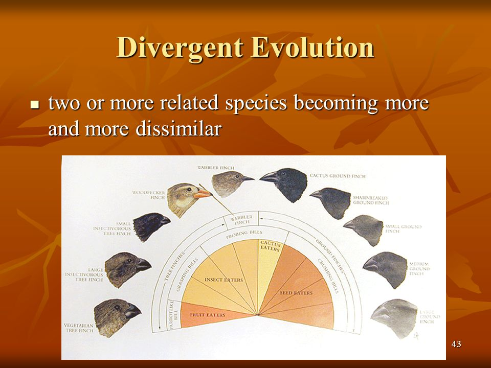 43 Divergent Evolution two or more related species becoming more and more dissimilar two or more related species becoming more and more dissimilar