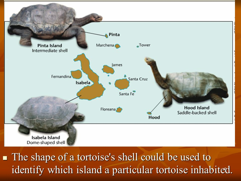 9 The shape of a tortoise's shell could be used to identify which island a particular tortoise inhabited. The shape of a tortoise's shell could be use