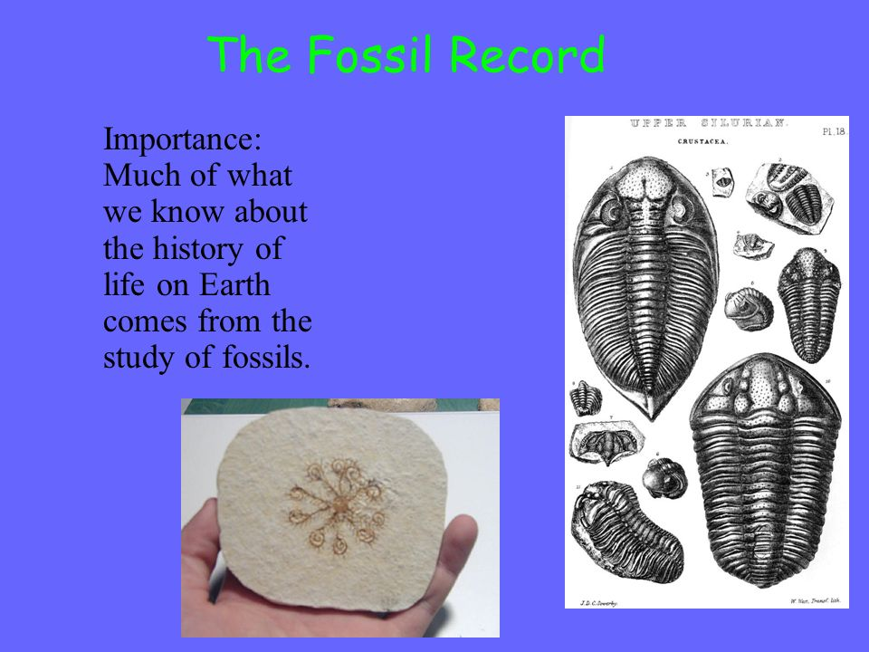 The Fossil Record Importance: Much of what we know about the history of life on Earth comes from the study of fossils.