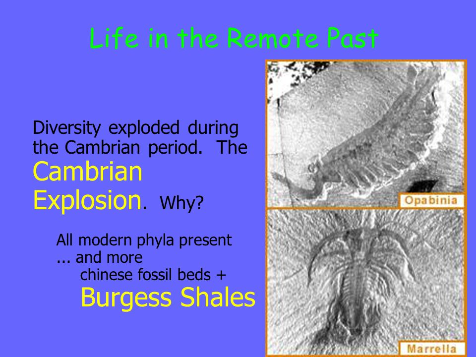 Life in the Remote Past Diversity exploded during the Cambrian period.