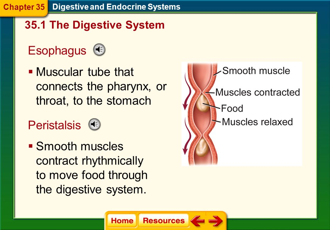 Digestive and Endocrine Systems 35.1 The Digestive System Chapter 35
