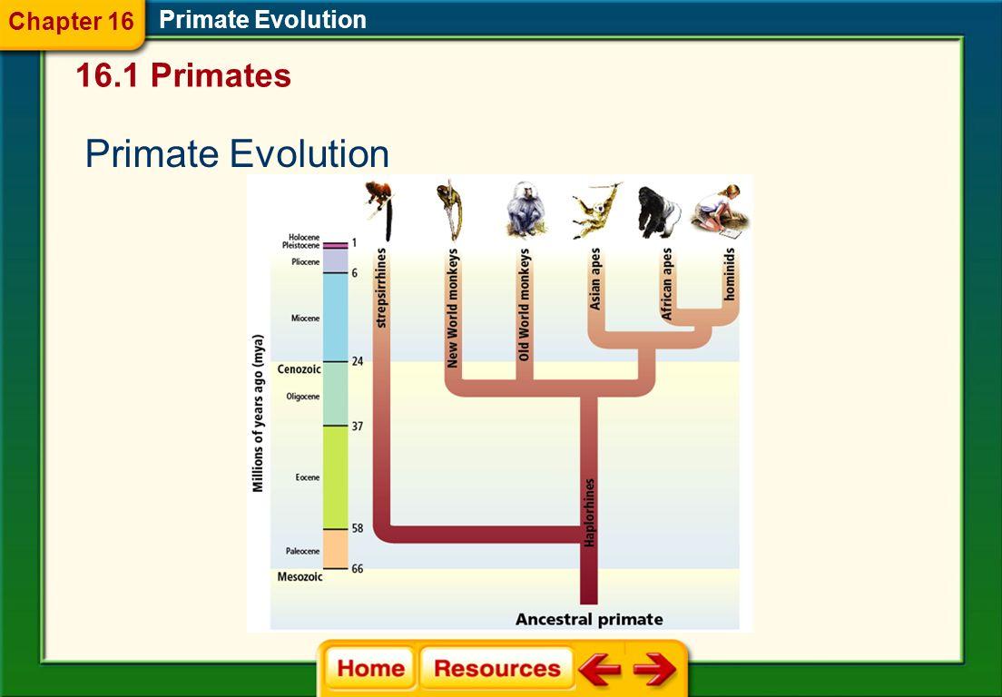 Great Apes Primate Evolution Chimpanzees Humans Male orangutan Female orangutan Orangutans Gorillas 16.1 Primates Chapter 16