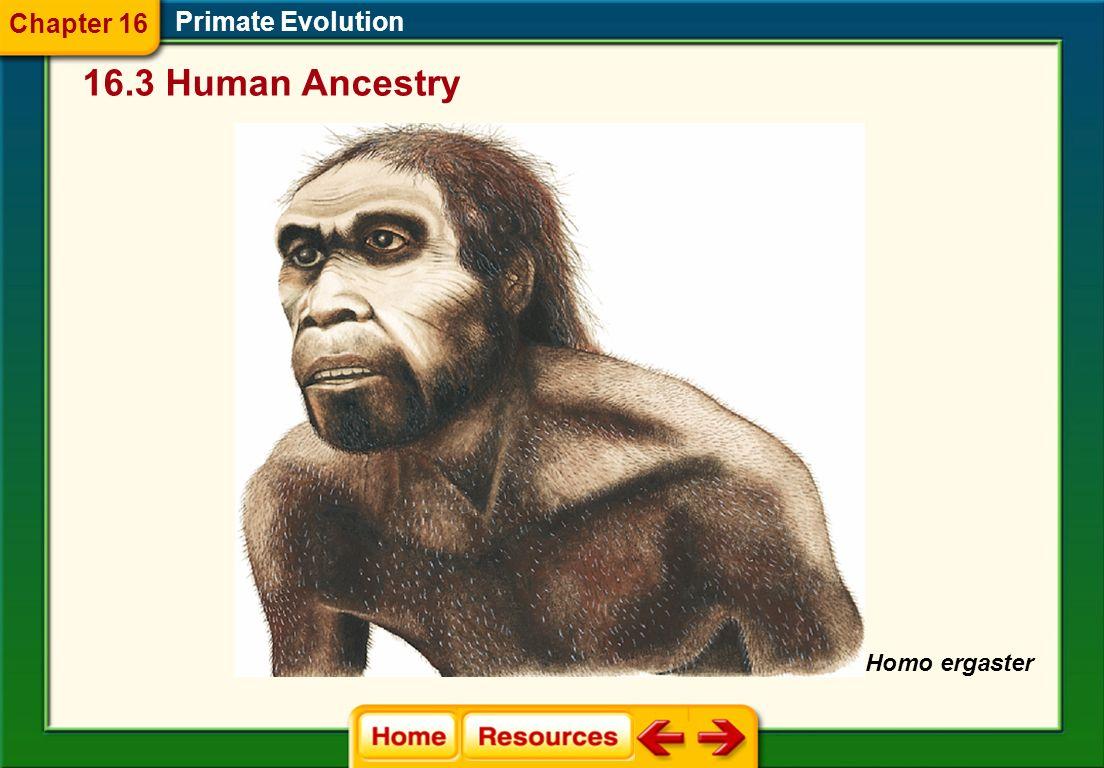 Primate Evolution Taller Lighter Longer legs and shorter arms Brain averaged 1000 cm 3 16.3 Human Ancestry Chapter 16 Homo ergaster emerged within 500