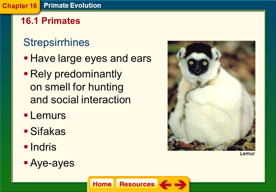 Primate Groups Arboreal, or tree-dwelling Primate Evolution Terrestrial The strepsirrhines, or wet-nosed The haplorhines, or dry-nosed 16.1 Primates C