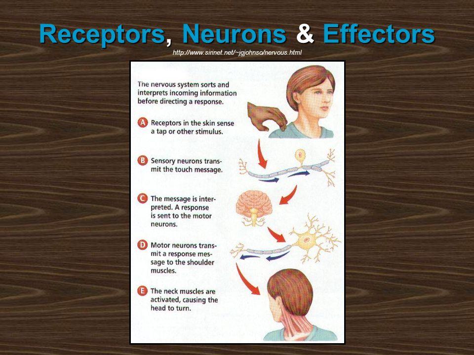 Receptors,Neurons&Effectors Receptors, Neurons & Effectors http://www.sirinet.net/~jgjohnso/nervous.html