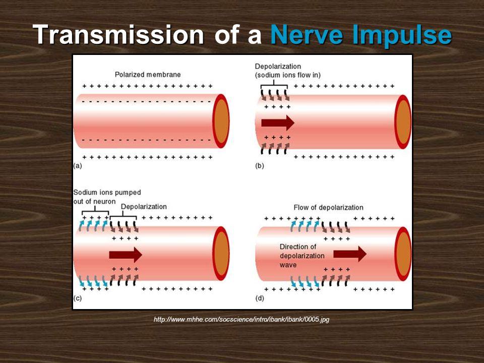 TransmissionNerve Impulse Transmission of a Nerve Impulse http://www.mhhe.com/socscience/intro/ibank/ibank/0005.jpg