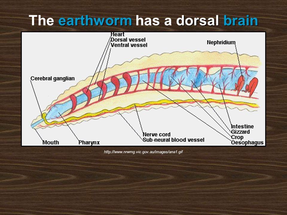 earthwormdorsal brain The earthworm has a dorsal brain http://www.nrwmg.vic.gov.au/images/ana1.gif