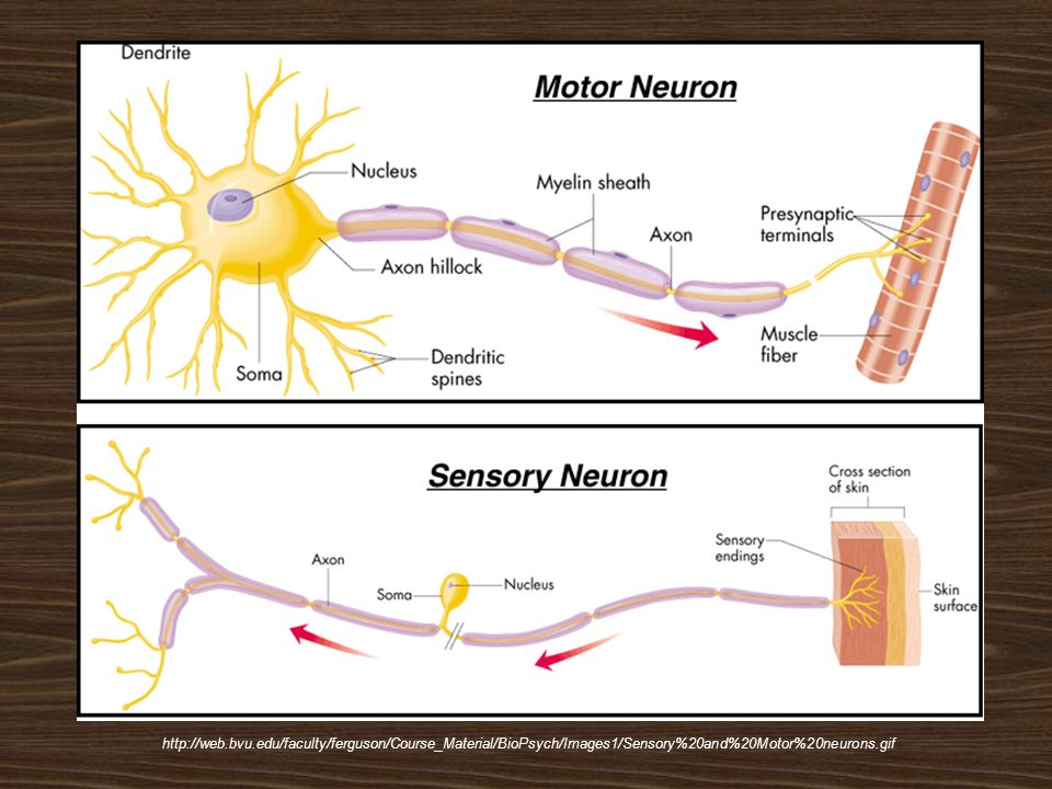 http://web.bvu.edu/faculty/ferguson/Course_Material/BioPsych/Images1/Sensory%20and%20Motor%20neurons.gif