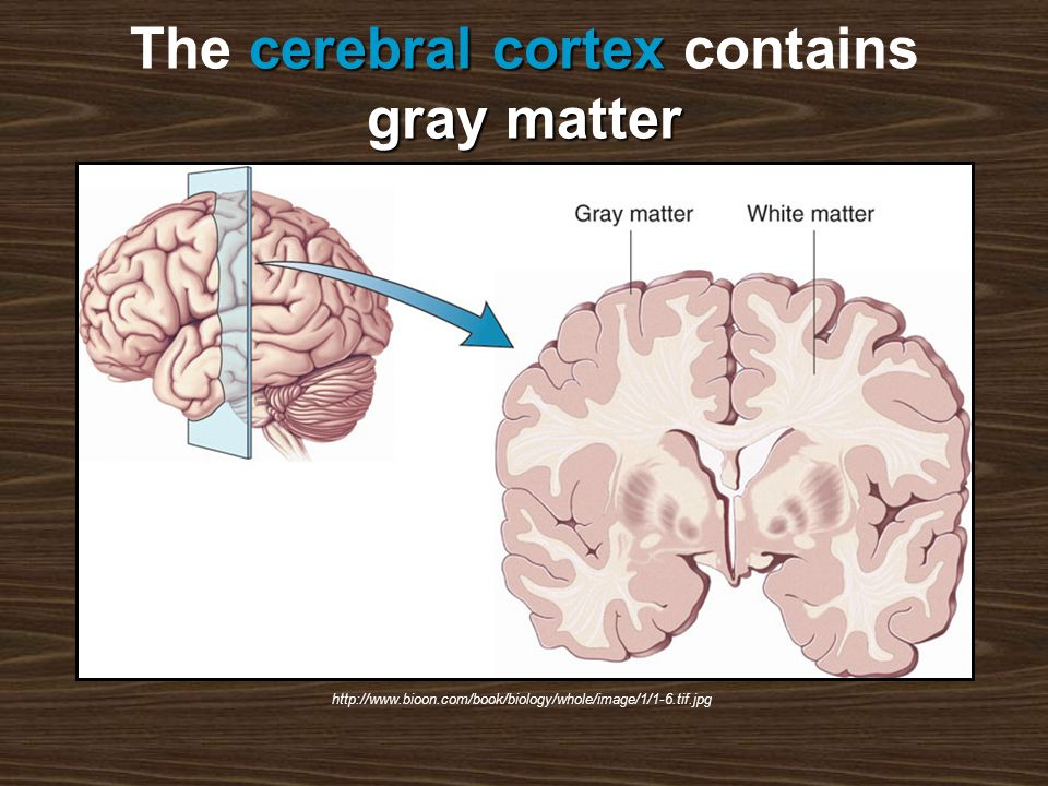 cerebral cortex gray matter The cerebral cortex contains gray matter http://www.bioon.com/book/biology/whole/image/1/1-6.tif.jpg