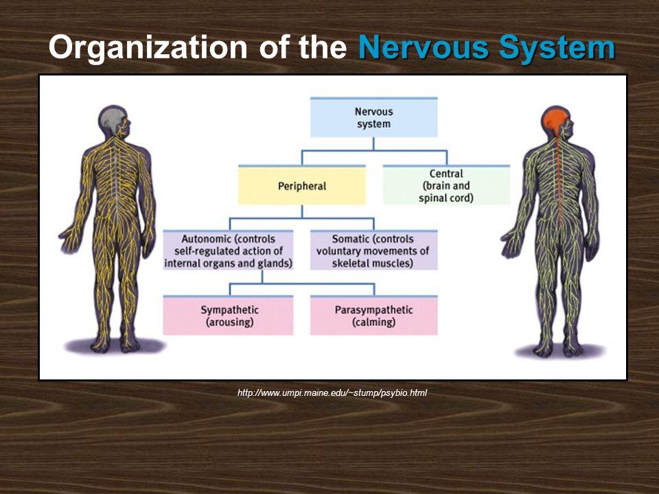 http://www.umpi.maine.edu/~stump/psybio.html Nervous System Organization of the Nervous System