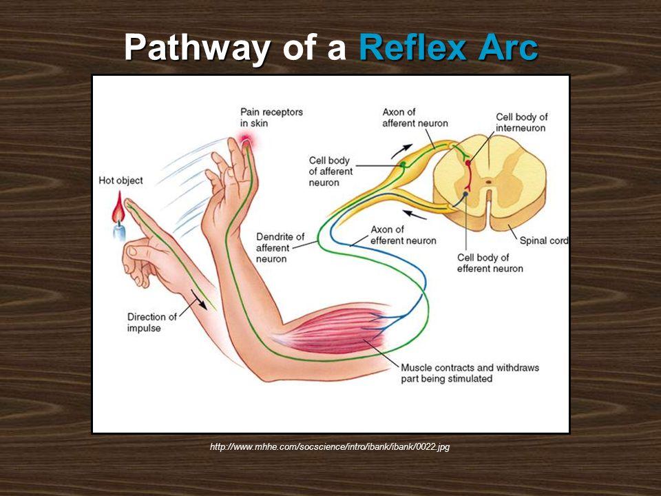 PathwayReflex Arc Pathway of a Reflex Arc http://www.mhhe.com/socscience/intro/ibank/ibank/0022.jpg