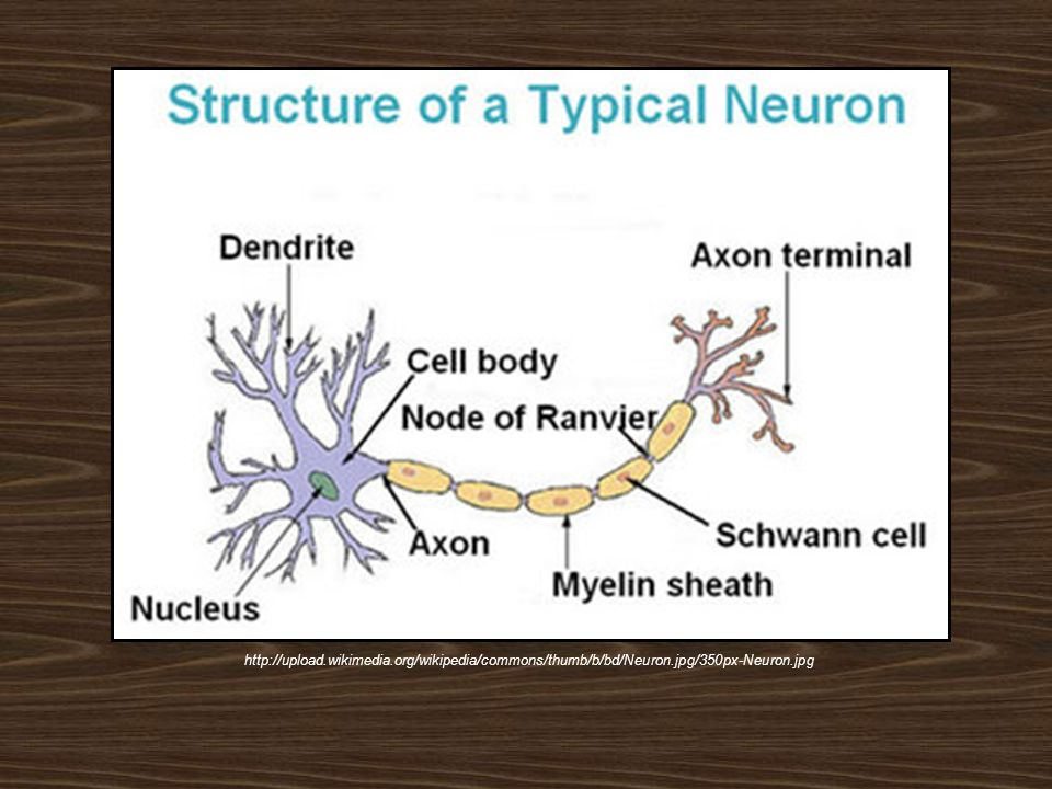 http://upload.wikimedia.org/wikipedia/commons/thumb/b/bd/Neuron.jpg/350px-Neuron.jpg