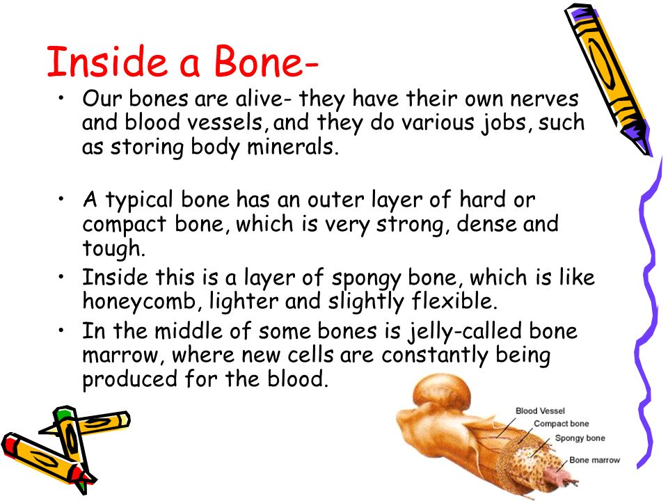 Inside a Bone- Our bones are alive- they have their own nerves and blood vessels, and they do various jobs, such as storing body minerals.