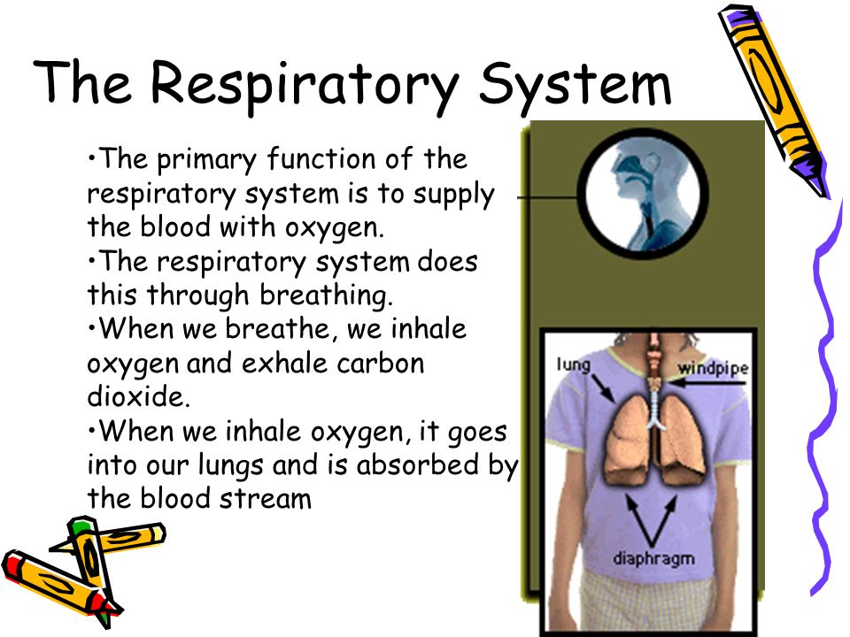 The Respiratory System The primary function of the respiratory system is to supply the blood with oxygen.