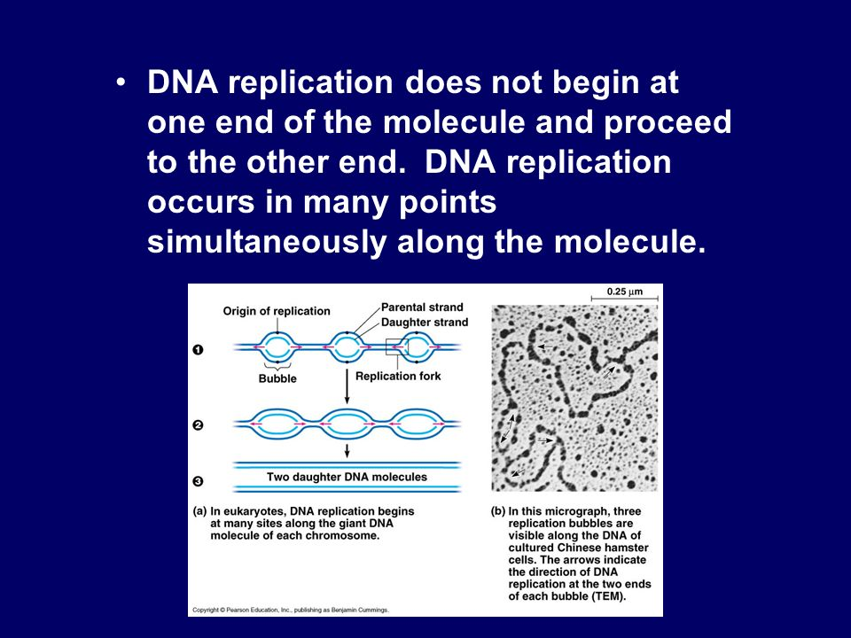 DNA replication does not begin at one end of the molecule and proceed to the other end. DNA replication occurs in many points simultaneously along the