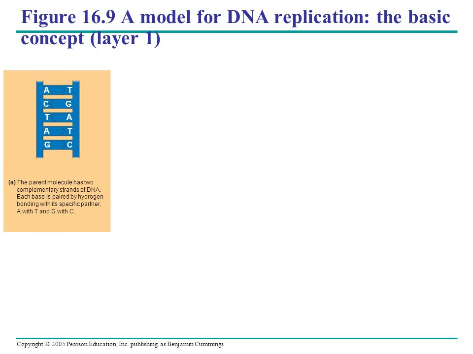 Copyright © 2005 Pearson Education, Inc. publishing as Benjamin Cummings Figure 16.9 A model for DNA replication: the basic concept (layer 1) (a) The