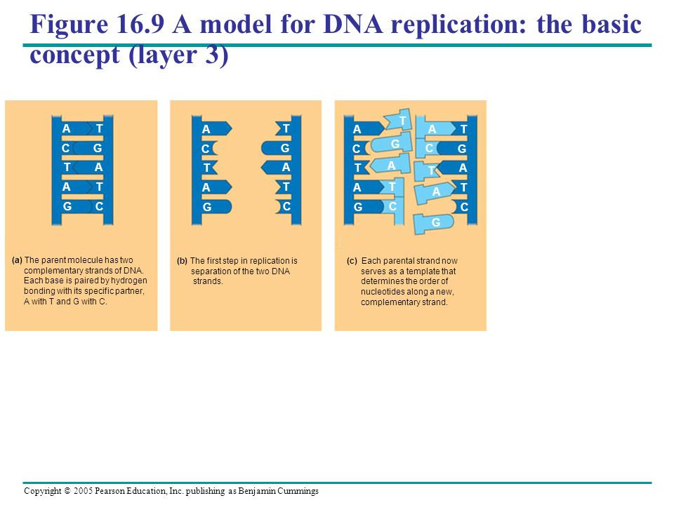Copyright © 2005 Pearson Education, Inc. publishing as Benjamin Cummings Figure 16.9 A model for DNA replication: the basic concept (layer 3) (a) The