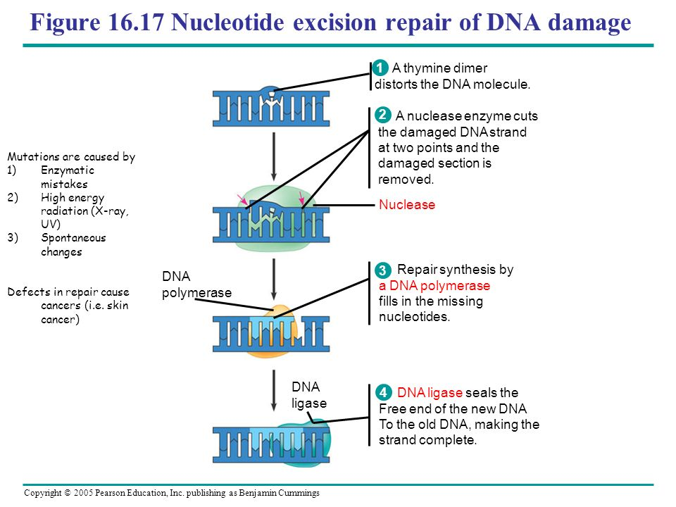 Copyright © 2005 Pearson Education, Inc. publishing as Benjamin Cummings Figure 16.17 Nucleotide excision repair of DNA damage Nuclease DNA polymerase