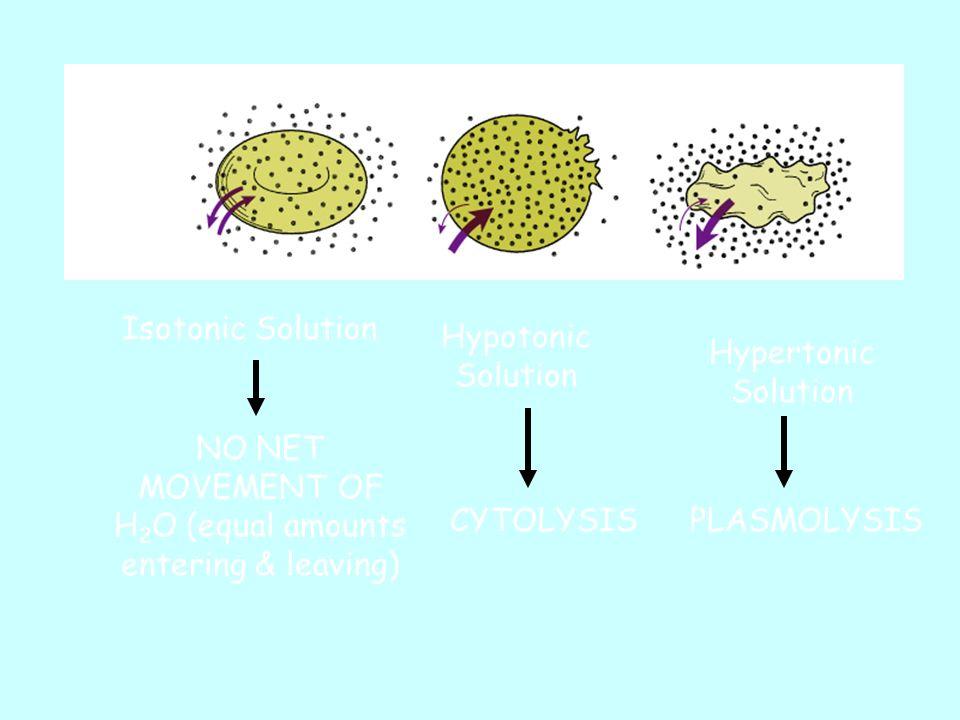 Isotonic Solution NO NET MOVEMENT OF H 2 O (equal amounts entering & leaving) Hypotonic Solution CYTOLYSIS Hypertonic Solution PLASMOLYSIS