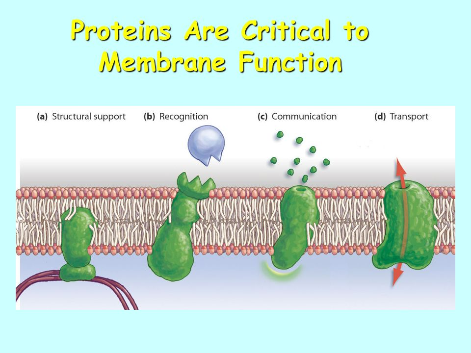 Proteins Are Critical to Membrane Function