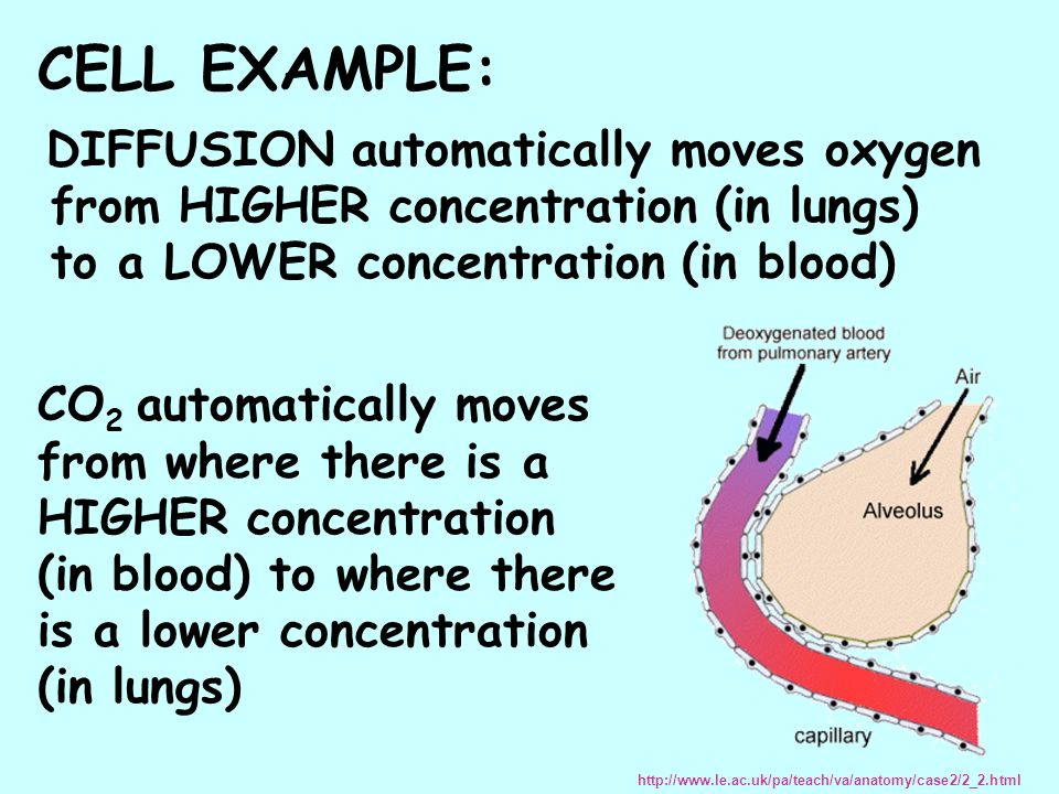 DIFFUSION automatically moves oxygen from HIGHER concentration (in lungs) to a LOWER concentration (in blood) http://www.le.ac.uk/pa/teach/va/anatomy/