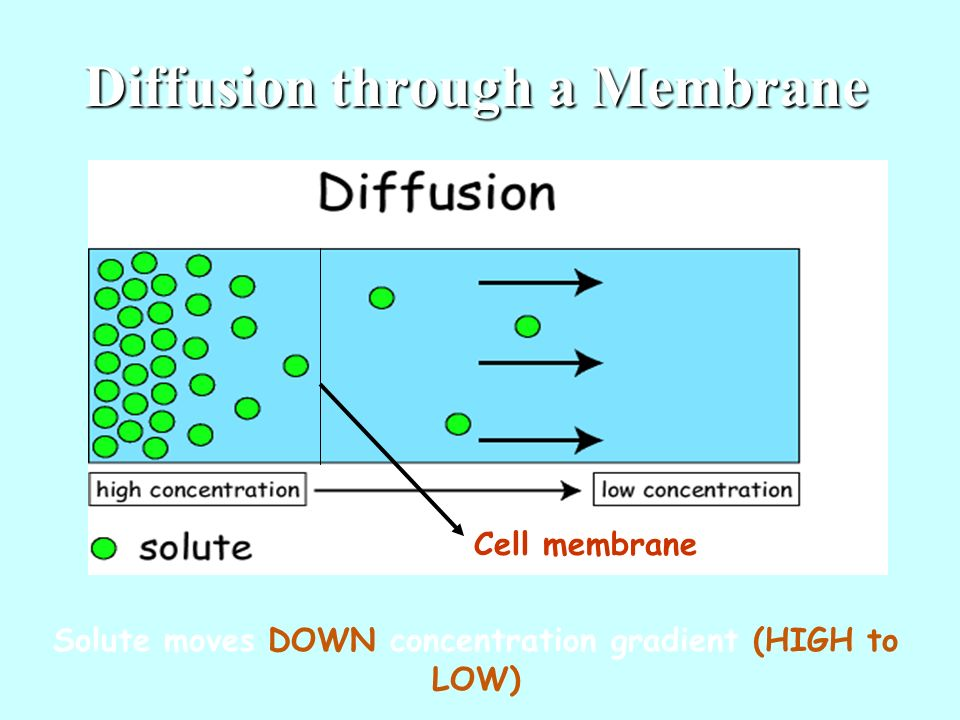 Diffusion through a Membrane Cell membrane Solute moves DOWN concentration gradient (HIGH to LOW)