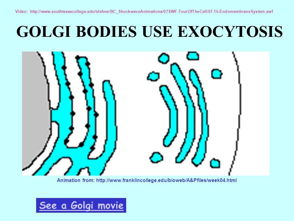 GOLGI BODIES USE EXOCYTOSIS Animation from: http://www.franklincollege.edu/bioweb/A&Pfiles/week04.html See a Golgi movie Video: http://www.southtexasc