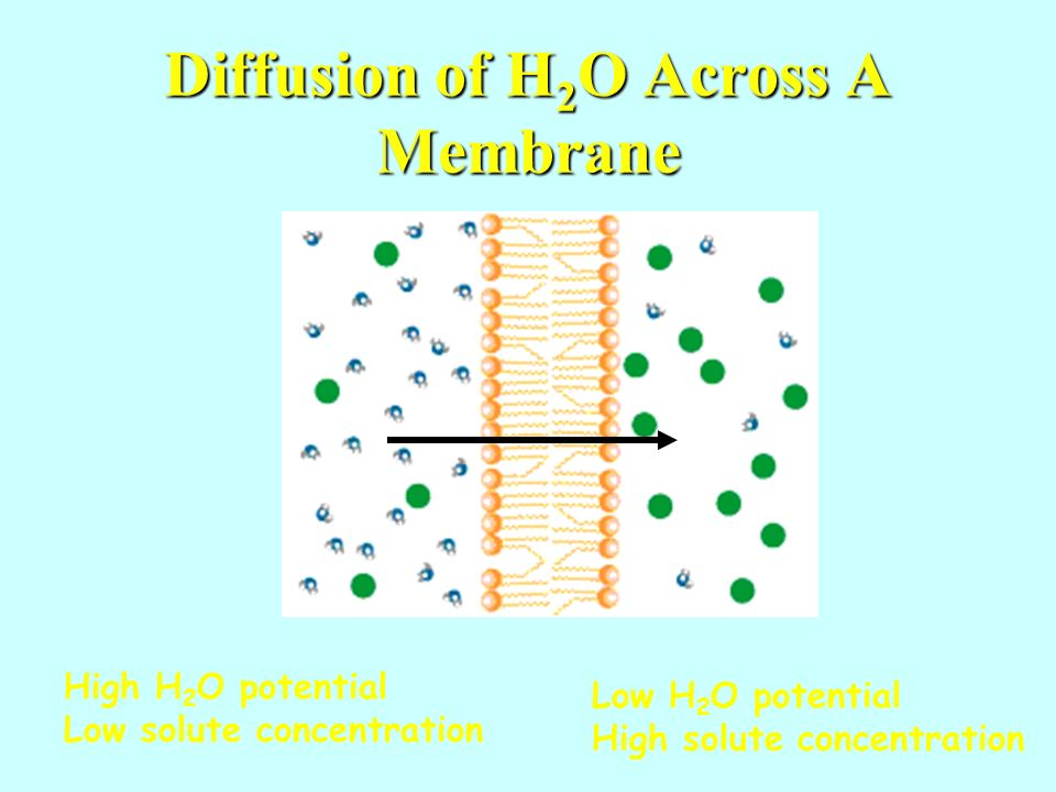 Diffusion of H 2 O Across A Membrane High H 2 O potential Low solute concentration Low H 2 O potential High solute concentration