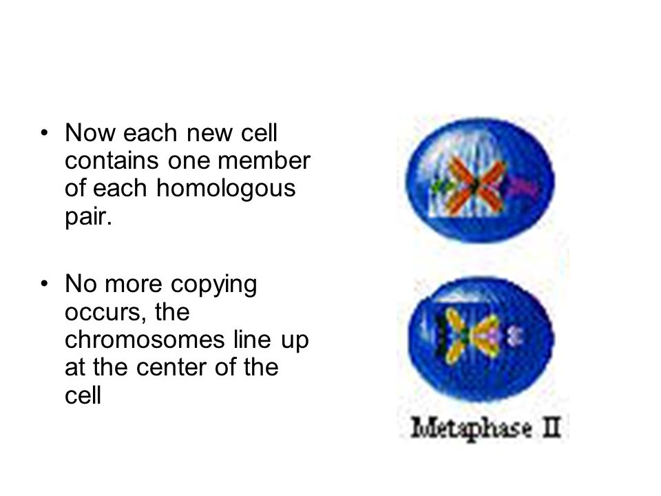 Now each new cell contains one member of each homologous pair. No more copying occurs, the chromosomes line up at the center of the cell