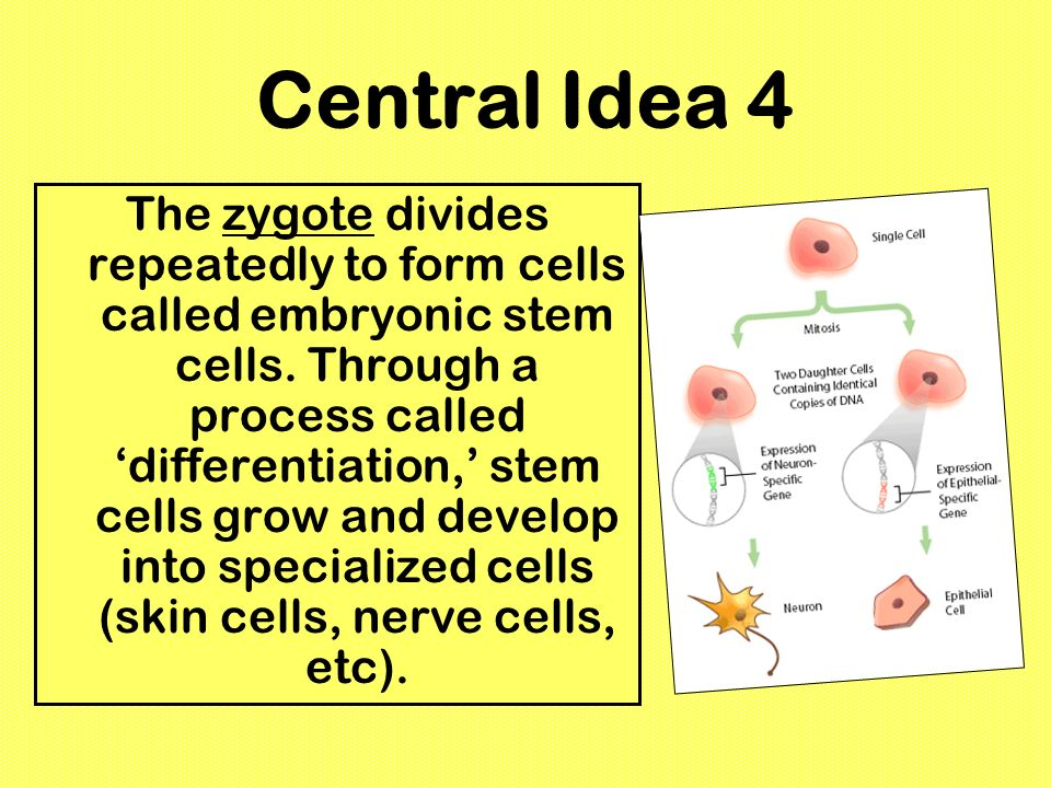 Central Idea 4 The zygote divides repeatedly to form cells called embryonic stem cells. Through a process called differentiation, stem cells grow and