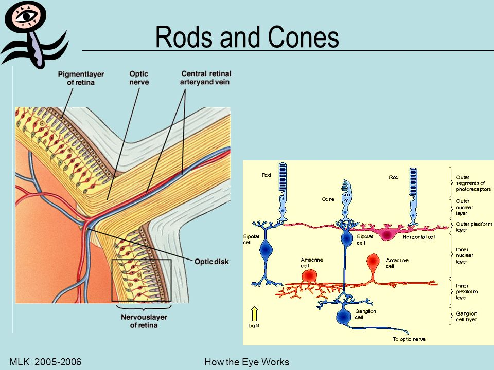 MLK 2005-2006How the Eye Works Retina stimulation The photosensitive cells of the retina contain the rods and cone which convert the light stimulus to